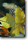 Stock photo. Caption: Northern saw-whet owl (Aegolius acadicus)   and bigleaf maple leaf Sierra Nevada, California -- bird birds portrait portraits prey owls habitat nocturnal perched perching trees tree species fall autumn artistic nature raptor raptors raptores animal animals