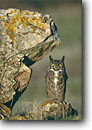 Stock photo. Caption: Great horned owl (Bubo virginianus) perched on lichen covered rock California -- bird birds portrait portraits prey owls habitat nocturnal perched perching species rocks rock raptor raptors raptores animal animals