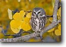Stock photo. Caption: Northern saw-whet owl (Aegolius acadicus) in aspen Onion Valley, California -- bird birds portrait portraits prey owls habitat nocturnal perched perching trees tree species fall autumn artistic nature aspen leaves cute raptor raptors raptores animal animals