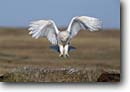 Stock photo. Caption: Adult snowy owl (Nyctea scandiaca)   landing at nest Barrow,  Alaska -- bird birds portrait portraits prey owls habitat nocturnal species white pure purity white flying hunting nesting mother family hoot raptor raptors raptores animal animals flight