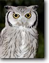 Stock photo. Caption: White-faced scops-owl (Otus leucotis) portrait captive bird   from North Africa -- bird birds portrait portraits prey owls nocturnal species hoot raptor raptors raptores animal animals perches perching perched eyes white menacing threatening