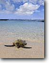 Stock photo. Caption: Green sea turtle on beach Kohala Coast Big Island of Hawaii Hawaii -- portrait portraits habitat animal animals  amphibian amphibians american tropical tropics species turtles honu honus beaches shelled shells sunny clear hawaiian basking sunbathing