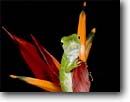 Stock photo. Caption: Green anole (Anolis biporcatus) Las Cruces Biological Reserve Costa Rica, Central America -- portrait portraits habitat animal animals reptile reptiles lizard lizards american brightly colored color clinging cute tropical tropics species anoles flowers flower
