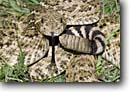 Stock photo. Caption: Western diamondback rattlesnake (Crotelus atrox) Coastal Bend Region Texas -- portrait portraits habitat animal animals reptile reptiles snakes american rattlesnakes danger dangerous menacing threatening threat poisonous texan diamondbacks coiled tongue forked warning careful ominous snake