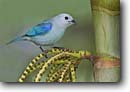 Stock photo. Caption: Blue-gray tanager (Thraupis episcopus) Las Cruces Biological Reserve San Vito,  Costa Rica Central America -- bird birds portrait portraits habitat perched perching trees tree species songbirds song forest animal animals blue tanagers tropical tropics species