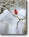 Stock photo. Caption: Northern cardinal  (cardinalis cardinalis) Texas Hill Country Texas -- bird birds portrait portraits habitat perched perching trees tree species songbirds song forest animal animals scarlet cardinals