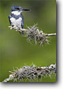 Stock photo. Caption: Belted Kingfisher (Ceryle alcyon) Texas Hill Country Texas -- bird birds portrait portraits habitat perched perching trees tree species  forest animal animals fisher fish eating kingfishers