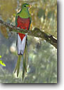 Stock photo. Caption: Resplendent quetzal (Haromachrus mocinno) male Savagre,  Costa Rica Central America -- tropical tropics species bird birds portrait portraits habitat perched perching trees tree species forest animal animals quetzals elegant ornate tail feathers brightly colored bright icon iconic american green scarlet large