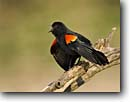 Stock photo. Caption: Red-winged blackbird (Agelaius phoeniceus) Texas Hill Country Texas -- bird birds portrait portraits habitat perched perching trees tree species songbirds song forest animal animals wings spread calling