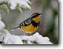 Stock photo. Caption: Varied thrush (Ixoreus aevius) Sierra Nevada Foothills California -- bird birds portrait portraits habitat perched perching trees tree species songbirds song forest animal animals thrushes snowing snowey snowy snow winter songbirds songbird