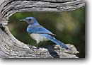 Stock photo. Caption: Western scrub-jay  or Woodhouse scrub-jay (Aphelocoma californica) Texas Hill Country, Texas -- bird birds portrait portraits habitat perched perching trees tree species songbirds song forest animal animals blue jays scrub