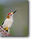 Stock photo. Caption: Golden-fronted woodpecker (Melanerpes aurifrons) Texas Hill Country Texas -- bird birds portrait portraits habitat perched perching trees tree species songbirds song forest animal animals woodpeckers
