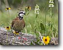 Stock photo. Caption: Northern bobwhite (Colinus virginianus) Coastal Bend Region Texas -- bird birds portrait portraits habitat perched perching trees tree species songbirds song forest animal animals bobwhites flowers flower