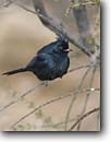Stock photo. Caption: Phainopepla (phainopepla nitens) Saguaro National Park Sonoran Desert Arizona -- bird birds portrait portraits habitat perched perching trees tree species forest animal animals american  parks southern deserts  songbird songbirds black deserts