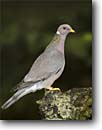 Stock photo. Caption: Band-tailed pigeon (Columba fasciata) Sierra Nevada Foothills California -- bird birds portrait portraits habitat perched perching trees tree species forest animal animals american pigeons pidgeon gray