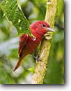 Stock photo. Caption: Summer tanager (Piranga rubra) male in rain La Paz Waterfall Gardens Costa Rica, Central America -- bird birds portrait portraits habitat perched perching trees tree species forest animal animals jungle brightly colored bright tropical tropics parks american color reserves wild scarlet rican tropics tropical