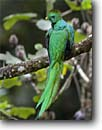 Stock photo. Caption: Resplendent quetzal (Pharomachrus mmocinno) Savegre Costa Rica, Central America -- tropical tropics species bird birds portrait portraits habitat perched perching trees tree species forest animal animals quetzals elegant ornate tail feathers brightly colored bright icon iconic american green scarlet large