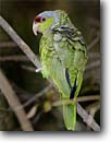 Stock photo. Caption: Lilac-crowned parrot (Amazona finschi) Coastal Bend Region Texas -- bird birds portrait portraits habitat perched perching trees tree species  forest animal animals parrots large bills crowned lilac