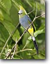 Stock photo. Caption: Long-tailed silky-flycatcher (Ptilogonys caudatus) Savegre Costa Rica, Central America -- bird birds portrait portraits habitat perched perching trees tree species songbirds song forest animal animals yellow blue songbird flycatchers rican american tropics tropical
