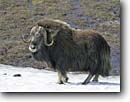 Stock photo. Caption: Muskox on snow patch (Ovibos moschatus) Nome Alaska -- portrait portraits habitat species  winter scenic scenics landscape landscapes animal animals wildlife
