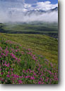 Stock photo. Caption: Red willow herb Thorofare River Valley Denali National Park Alaskan Range, Alaska -- mountains united states america snow capped solitude remote wilderness wildernesses landscape landscapes travel destination destinations backcountry alaskan summer flower flowers wildflower wildflowers tundra