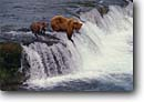 Stock photo. Caption: Brown bear and cubs Brooks River Katmai National Park Alaska -- united states america waterfall waterfalls parks famous bears feeding fishing fish motherhood rivers catching