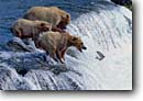 Stock photo. Caption: Brown bears and salmon Brooks River Katmai National Park Alaska -- bear eating catching hunting hunt catch fish waterfall waterfalls classic scenic picture scenics family mother babies young adult patience grizzly grizzley grizzlies alaskan animal animals baby scenic scenics landscape landscapes
