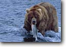Stock photo. Caption: Brown bear and salmon Brooks River Katmai National Park Alaska -- bear eating catching hunting hunt catch fishpicture scenics adult patience grizzly grizzley grizzlies alaskan fish animal animals