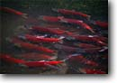 Stock photo. Caption: Sockeye salmon Moose Creek Chugach National Forest Alaska -- Oncorhynchus nerka spawning riverbed fish fishery rivers islands spawn spawns united states america salmonoid salmonoids crystal clear mountain mountains summer migration migrating struggle struggles motivation strength determination alaskan runs