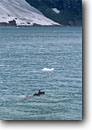 Stock photo. Caption: Moose swimming in Tarr Inlet Glacier Bay Glacier Bay National Park Southeast Alaska -- united states america solitude remote  outdoor recreation tourist travel destination destinations inlets alaskan parks bays southeastern mammal mammals swim cruise ship fear excitement survival survive adaptation summer wildlife animal animals Alces