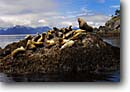 Stock photo. Caption: Colony of Stellar sea lions Frederick Sound Tongass National Forest Southeast Alaska,  Pacific Ocean -- Eumetopias jubatus alaskan inside passage southeast southeastern marine mammals mammal animal animals colonies wildlife seal seals lion