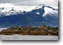 Stock photo. Caption: Colony of Stellar sea lions Frederick Sound Tongass National Forest Southeast Alaska,  Pacific Ocean -- Eumetopias jubatus alaskan inside passage southeast southeastern marine mammals mammal glacial animal animals colonies wildlife seal seals lion