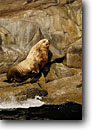 Stock photo. Caption: Stellar sea lion bull Frederick Sound Tongass National Forest Southeast Alaska,  Pacific Ocean -- Eumetopias jubatus alaskan inside passage southeast southeastern marine mammals mammal male lions animal animals colonies wildlife seal seals lion