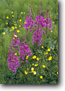 Stock photo. Caption: Fireweed and buttercups in equisetum Baranof Island Southeast Alaska -- wildflower wildflowers flower flowers  meadow woodland meadows woodlands lush spring field blooming bloom blooms landscape landscape Epilobium angustifolium islands alaskan
