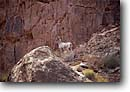 Stock photo. Caption: Desert bighorn sheep Grand Canyon Grand Canyon National Park Colorado Plateau,  Arizona -- boating dories trip trips southwest southwestern united states america rivers canyons spring desert deserts native endangered species colorado river parks bighorns animal animals wildlife majestic creatures Ovis canadensis nelsoni