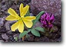 Stock photo. Caption: Yellow desert evening primrose and   purple owl