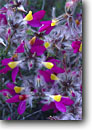 Stock photo. Caption: Beautiful dalea Theodore Roosevelt Lake Tonto National Forest Sonoran Desert,  Arizona -- flowers wildflower wildflowers detail details closeup closeups macro monuments deserts southwest southwestern united states america  Dalea formosa spring fuzzy purple yellow