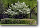 Stock photo. Caption: Flowering dogwood in Arlington Lawn Hot Springs National Park Hot Springs Arkansas -- scenic destination destinations spring tourist sunny southern scenics ozarks attraction attractions landscape landscapes parks dogwoods blooming city cities landscaped shrubs lamps lamp baths historic district districts historical