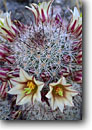 Stock photo. Caption: Fish-hook cactus Indian Gorge Anza-Borrego Desert State Park Sonoran Desert, California -- flower flowers wildflower wildflowers cactus detail details closeup closeups macro macros deserts spine spines united states america southwest southwestern mammillaria dioica spiney thorny delicate pattern patterns spring flowering bloom blloms blooming