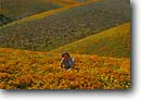 Stock photo. Caption: California poppies   and California coreopsis Antelope Valley Mojave Desert, California -- united states mohave deserts Eschscholzia californica foothills wildflowers flowers rolling hills wildflower artistic nature america landscape landscapes undulating golden girl girls woman field fields people person surrounded spring carpet carpets female