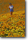 Stock photo. Caption: California poppies Antelope Valley Los Angeles County Mojave Desert, California -- united states mohave deserts Eschscholzia californica foothills wildflowers flowers rolling hills wildflower artistic nature america landscape landscapes undulating golden girl girls woman field fields people person surrounded spring female females