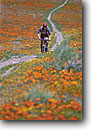 Stock photo. Caption: Mountain biking California poppies Antelope Valley near Lancaster Mojave Desert Los Angeles County, California -- united states bikes people outdoor recreation biker bicycle bicycles trail trails bike transportation cross country crosscountry extreme freedom solitude excitement trail trails flower flowers wildflower wildflowers field sport sports landscapes scenics