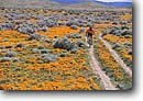 Stock photo. Caption: Mountain biking, California poppies Antelope Valley near Lancaster Mojave Desert Los Angeles County, California -- united states bikes people outdoor recreation biker bicycle bicycles trail trails bike transportation cross country crosscountry extreme freedom solitude excitement trail trails flower flowers wildflower wildflowers field orange sport sports landscapes