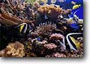 Stock photo. Caption: Tropical fish aquarium California -- united states america home aquariums moorish idol tank fishes