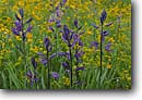Stock photo. Caption: Common camas and Lewis