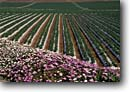 Stock photo. Caption: Strawberry fields Watsonville Santa Cruz County California -- bounty bountiful agriculture farm farms farming strawberries spring united states america crops rural berries flower flowers produce food fruit growing raising rows patterns commercial