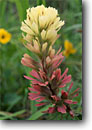 Stock photo. Caption: Indian paintbrush,  Christy Ranch Nature Conservancy