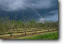 Stock photo. Caption: Orchard near Los Molinos Sacramento Valley Tehama County California -- orchards agriculture fruit tree trees rainbow rainbows farm farming spring breadbasket farmers rancher ranch irrigation commercial