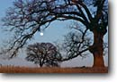 Stock photo. Caption: Valley oaks at sunset Sacramento Valley Butte County California -- woodland mountain spots locations viewing spring lush landscape landscapes scenic scenics trees grand stature ancient vallies moon moons moonrise moonrises