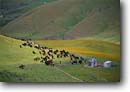 Stock photo. Caption: Herding cattle Carrizo Plain San Luis Obispo County South Coast Ranges,  California -- united states america landscape landscapes person people cowboys ranching ranch corral corrals cows roundup riding tough lifestyle herfords horseback angus black  quarter horses horse horseback livestock